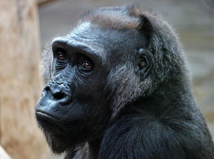 Gorila Kamba v ZOO Praha