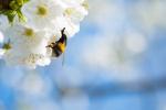 Čmelák opylující květ