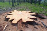 Dub pokácený nedaleko Krnova