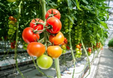 Rajčata z velkoskleníků