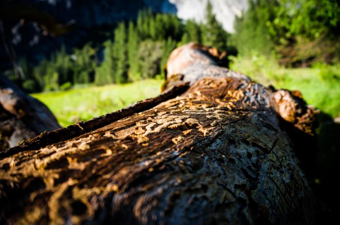 Strom zasažený kůrovcem