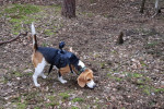 Pes pro vyhledávání zdechlin prasat