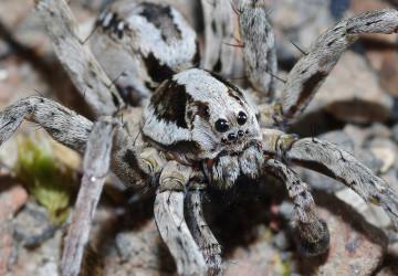Liščí pavouk