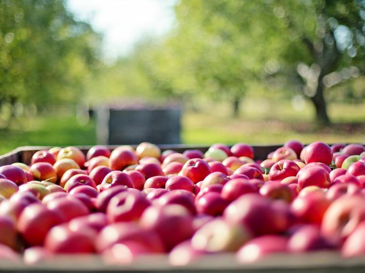 Sklizeň jablek
