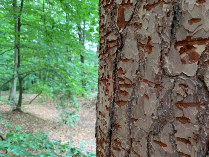 Strom poškozený kůrovcem