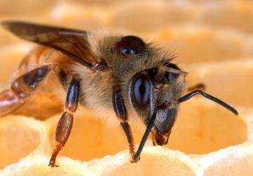 Včela napadená kleštíkem včelím