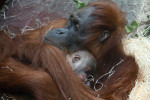 Matka orangutana sumatérskeho s mládětem