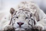 Bílý tygr - symbol ZOO Liberec