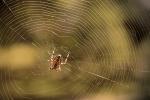 Pavučina s pavoukem